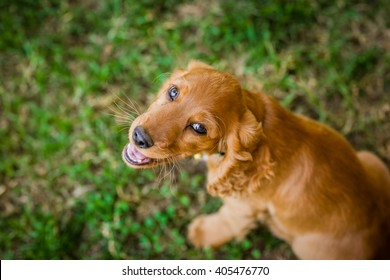 Smiling Cocker Spaniel puppy