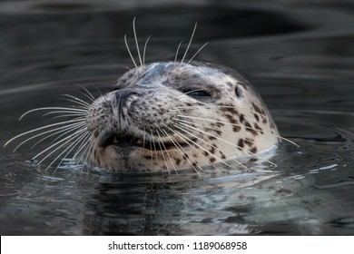 Smiling common seal in the water. Close-up portrait of Harbor seal (Phoca vitulina) with sly smile. Cute marine animal with funny face.