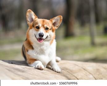 smiling corgi outside