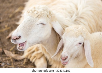 Smiling of couple sheep