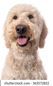 Smiling cream goldendoodle isolated on a white background