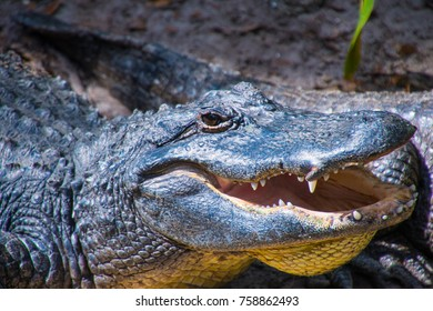 Smiling Crocodile Head with Large Sharp Teeth