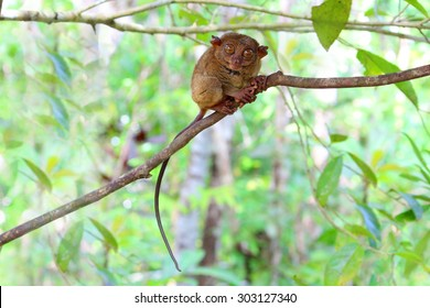 Smiling cute tarsier sitting on a branch with green leaves, the smallest primate in the world and this one was a great model for the photo shoot