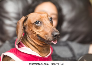 Smiling dachsund wearing dog clothes.