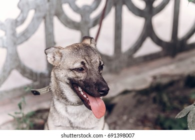Smiling dog face close-up, adorable grey dog relaxing with his tongue out while on a walk outdoors, animal shelter concept
