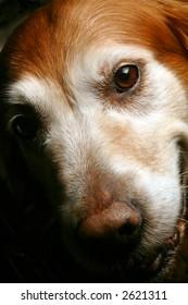 Smiling Dog, Gold Retriever Head Shot