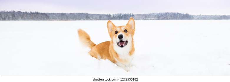 Smiling dog on snow. Welsh corgi pembroke on snow in winter landscape. Corgi dog posing in snowy winter nature. Copy space