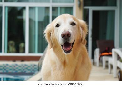 Smiling dog walking beside the pool