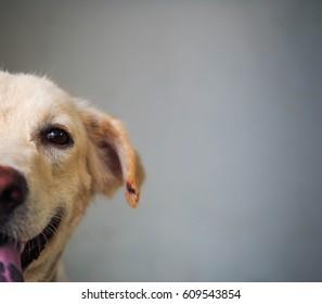 SMILING DOG, SMILING TO THE WORLD, HALF FACE FACING TOWARD THE CAMERA, KAOKLONG.