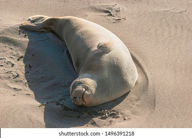a smiling elephant seal cow sleeping and sunbathing on the beach near San Simeon in California with her belly facing the sun