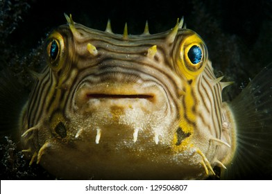 The smiling face of a puffer fish taken in the Bahamas