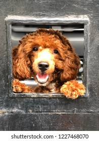 A smiling face red toy poodle dog is looking something in the window