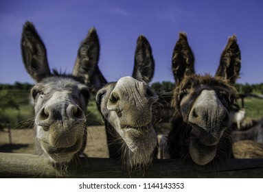 Smiling farm donkeys, detail of mammals, domestic animal
