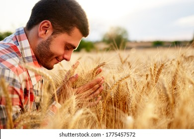 Smiling farmer holding and smelling a bunch of ripe cultivated wheat ears in hands. Agronomist examining cereal crop before harvesting on sunrise. Golden field on sunset. Organic farming concept.