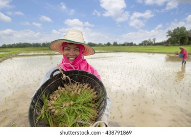 smiling farmer show the rice seed or sapling on green fields and