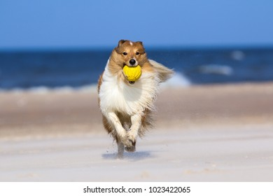 Smiling and fluffy tricolor shetland sheepdog, sheltie running fast with ball, dog toy on the sea beach. Smart little collie dog running to owner