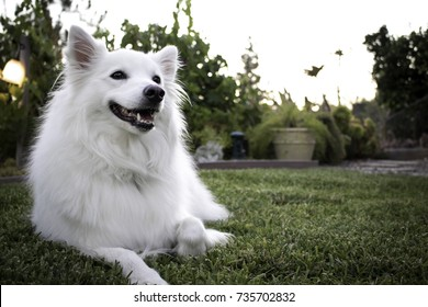 Smiling Fluffy White American Eskimo Dog in Grass at Sunset