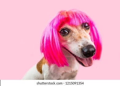 Smiling funky pinky dog Jack Russell terrier face in wig bob with fringe. Pink background. Lovely pet muzzle