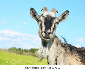 Smiling goat over blue sky