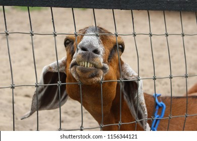 smiling goat, silly