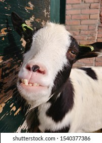 smiling goat with special teeth