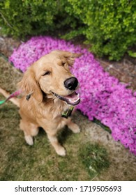 Smiling golden retriever with flowers in the background.
