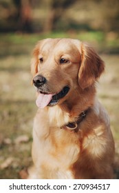 Smiling golden retriever isolated