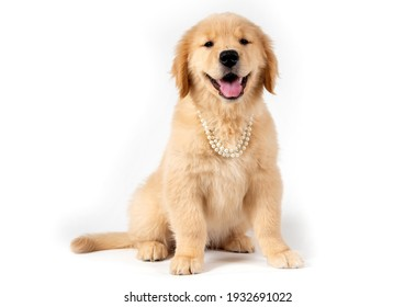 smiling golden retriever puppy with pearls necklace on white bac