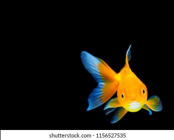 Smiling goldfish on black background,Goldfish swimming on black background ,Gold fish,Decorative aquarium fish,Gold fish. Isolation on the black.