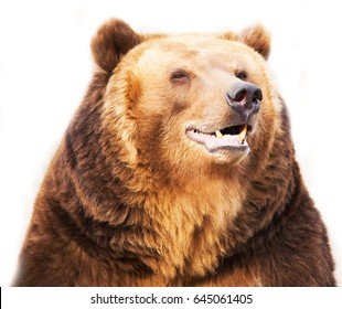 smiling happy bear looks huge brown intelligent eyes isolated on white background