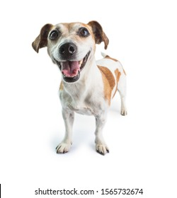 Smiling happy dog on white background. Jack russell terrier happiness
