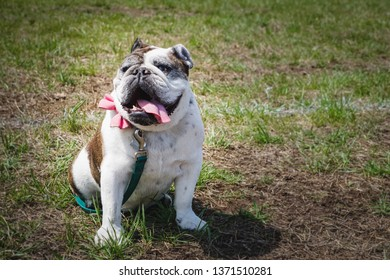 smiling happy english bulldog