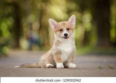 smiling happy pembroke whelsh corgi dog puppy outdoor