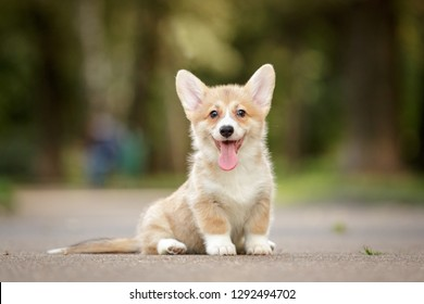 smiling happy pembroke whelsh corgi puppy sittting and posing outdoor