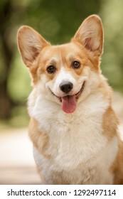 smiling happy pembroke whelsh corgi dog outdoor