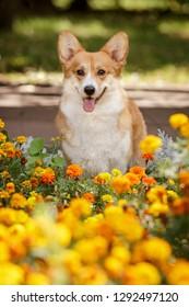 smiling happy pembroke whelsh corgi dog outdoor in yellow flowers