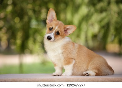 smiling happy pembroke whelsh corgi puppy sitting and looking outdoor