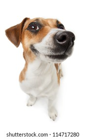 Smiling Jack Russel terrier dog. Pleased dog with big nose on white background. Studio shot.