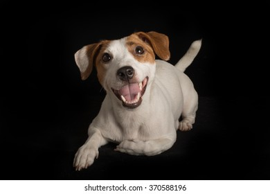 Smiling Jack Russell