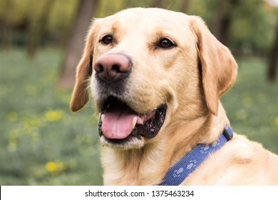 Smiling labrador dog in the city park