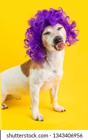 Smiling licking funny dog in curly disco style violet wig.Yellow background. Bright positive emotions