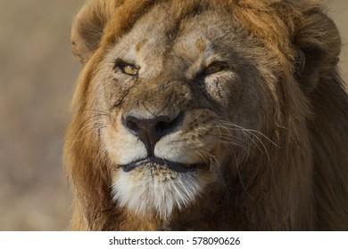 Smiling lion, Serengeti National Park, Tanzania.