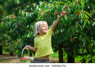 Smiling little boy picks a cherry from a tree in cherry garden on a summer sunny day