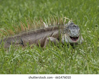 Smiling male iguana in green grass close up.