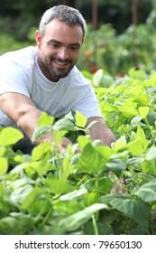 Smiling man picking peppers