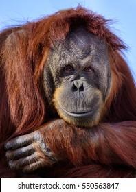 Smiling Orangutan (Pongo abelii)