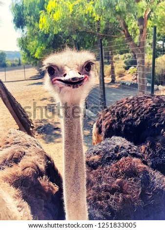 Smiling ostrich head and long neck front portrait in the Rhodes farm