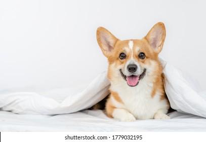 Smiling Pembroke welsh corgi dog lies under white blanket at home
