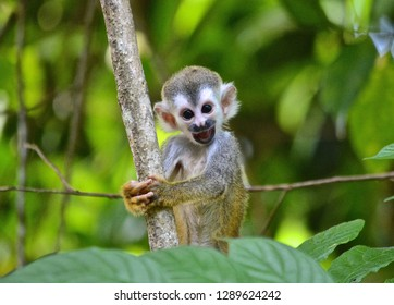 Smiling playful baby Grey-Crowned Central American Squirrel Monkey, or Mono Titi in Spanish, grasping onto a tree in the rainforest of Costa Rica.