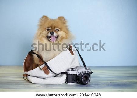 Smiling Pomeranian Dog Sitting Inside Canvas Stock Photo Edit Now